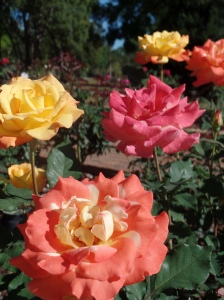 Roses in Winter Park